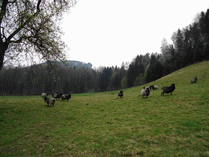 Foto: Günter Siegl / Wander Tour / Auf den Steinern Jäger und Schieferstein / Seltene Schafrasse in Stiedelsbach / Losenstein! / 20.04.2014 12:01:37