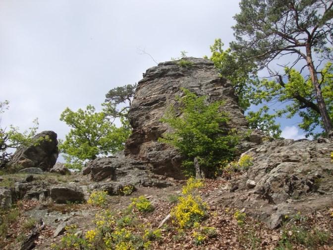 Foto: Wolfgang Dröthandl / Wander Tour / Vogelberg-Schloßberg - Runde / Ginsterblüte im Frühjahr / 08.05.2017 09:42:44