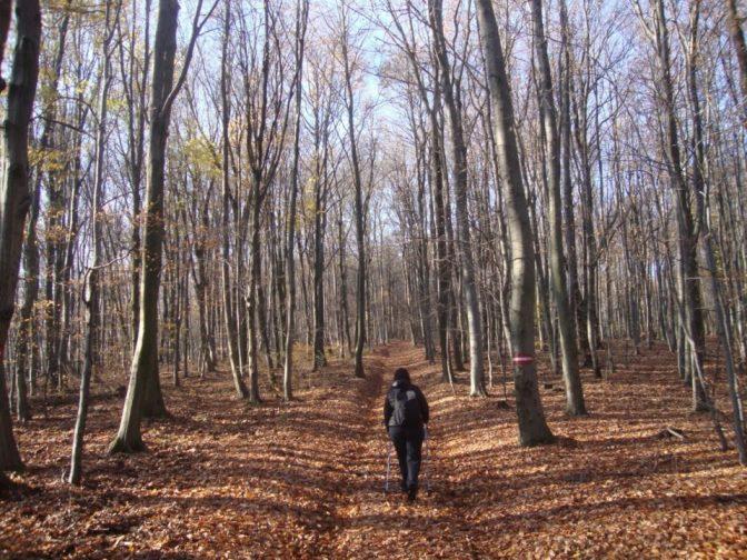 Foto: Wolfgang Dröthandl / Wander Tour / Rundwanderung über Schöffelstein und Rudolfshöhe / Abstieg von der Rudolfshöhe durch Buchenwald / 19.11.2018 11:19:28
