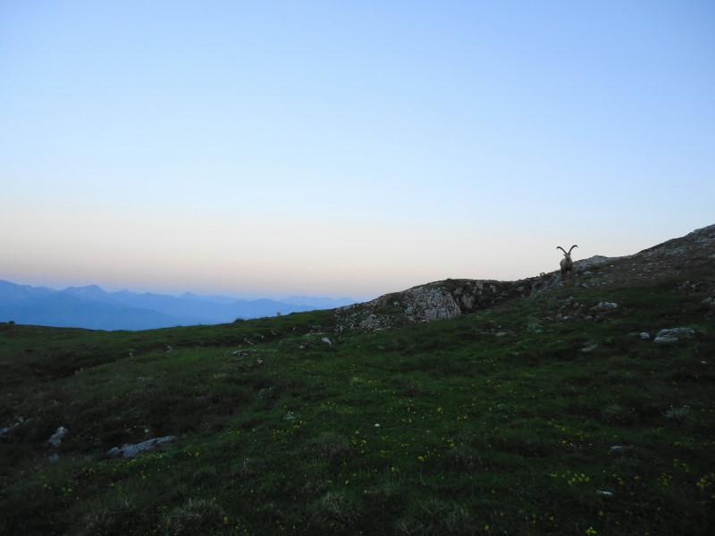 Foto: Günter Siegl / Wander Tour / Gößeck - Vorposten der Eisenerzer Alpen (2214m) / Neugierige Beobachtung / 28.07.2014 16:43:30
