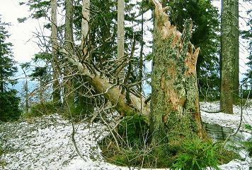 Foto: Wolfgang Dröthandl / Wander Tour / Plöckenstein - Auf Adalbert Stifters Spuren / Urtümliche Landschaft auf dem Kammweg zum Plöckenstein - Gipfel / 28.03.2011 13:39:34