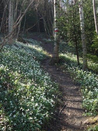 Foto: Wolfgang Dröthandl / Wandertour / Gföhlberg - zweithöchster Gipfel des Wienerwaldes / Im Frühling durch ein Schneeglöckchenmeer zum höchsten Punkt! / 03.04.2017 09:25:36