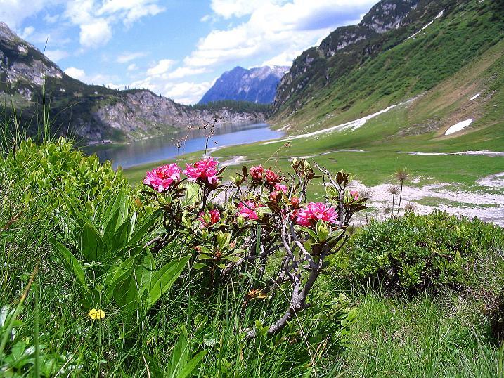 Foto: Andreas Koller / Wander Tour / Tappenkarseehütte - Weißgrubenkopf - Franz Fischerhütte (2369m) / Almrausch beim Tappenkarsee / 24.06.2008 16:29:28