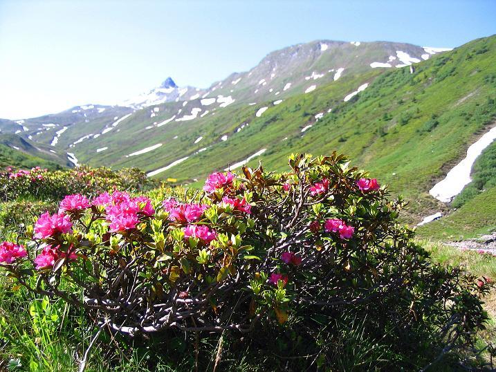 Foto: Andreas Koller / Wander Tour / Glingspitze und Rifflgrat (2433 m) / Almrausch und Glingspitze / 24.06.2008 18:14:35