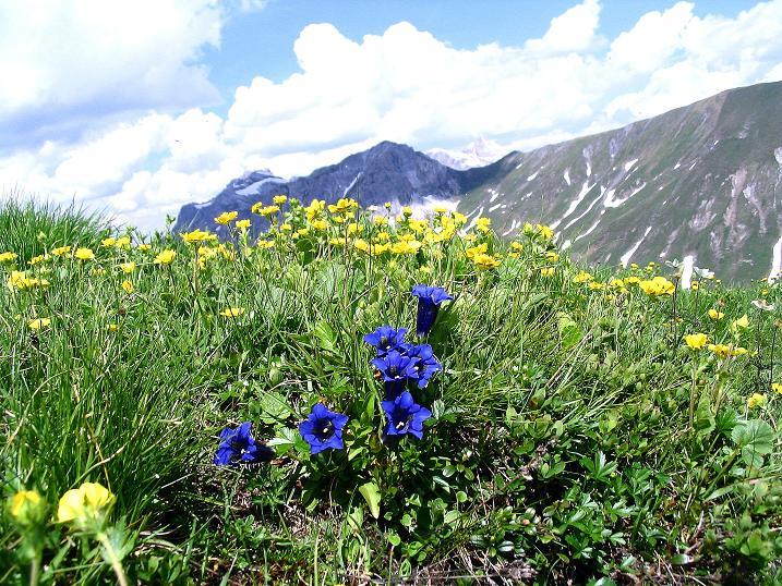 Foto: Andreas Koller / Wander Tour / Glingspitze und Rifflgrat (2433 m) / Enzian im Abstieg ins Karteistörl / 24.06.2008 17:56:17