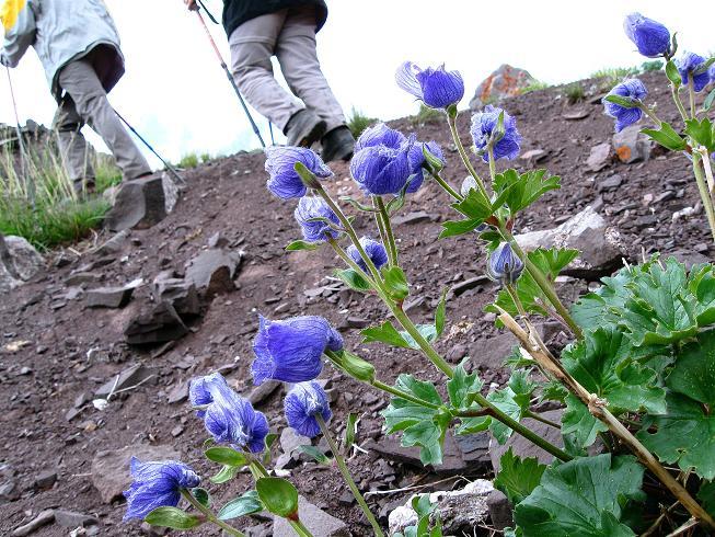 Foto: Andreas Koller / Wander Tour / Vom Stok Gompa auf den Stok Ri (5002m) / Blauer Himalaya-Mohn / 10.09.2008 00:55:56