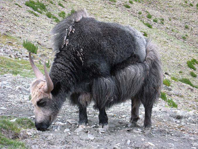 Foto: Andreas Koller / Wander Tour / Über den Ganda Ri (5113m) ins Markha Valley / Yak ... Yak ... Yak = Ladakh / 12.09.2008 00:17:39