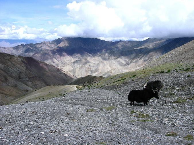 Foto: Andreas Koller / Wander Tour / Über den Ganda Ri (5113m) ins Markha Valley / Yaks unterhalb des Ganda La / 12.09.2008 00:16:59