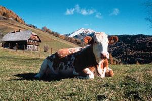 Foto: Romana Koeroesi / Wander Tour / Nach St.Lorenzen / Bauernhaus mit Kuh im Bergbauerndorf Saureggen; Copyright: TV Turracher Höhe / 07.05.2009 15:10:51