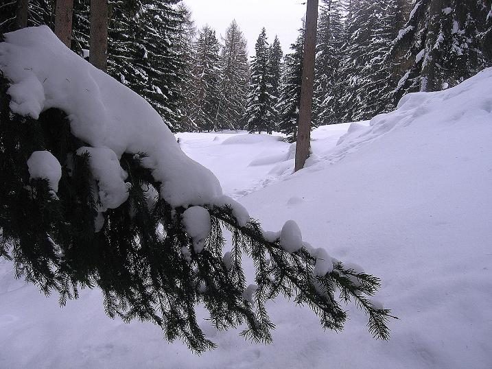 Foto: Andreas Koller / Ski Tour / Aus dem Val Müstair auf den Piz Dora (2951m) / Romantischer Waldanstieg / 23.12.2008 16:16:31