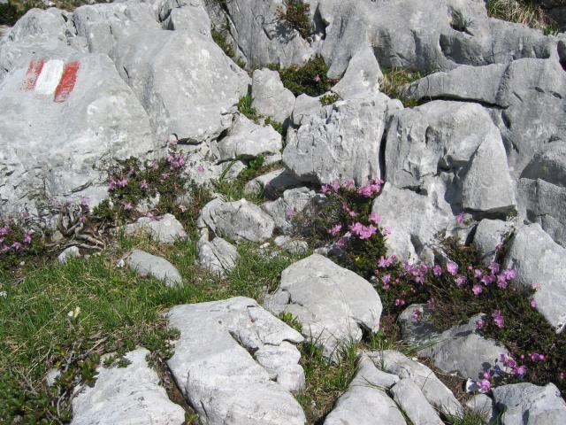 Foto: pepi4813 / Wander Tour / Auf dem Kaiserweg über dem Trauntal / Blumen am Kaiserweg / 13.07.2009 09:40:14