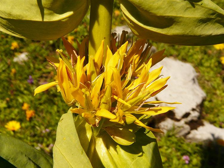 Foto: vince 51 / Wander Tour / von der Formarinalpe auf die Rote Wand / Blüte Gelber Enzian / 18.07.2009 23:25:30
