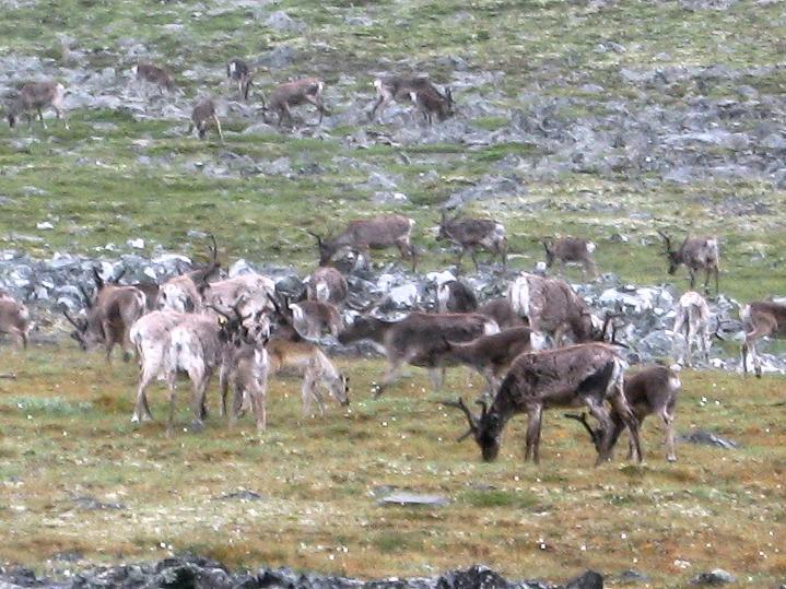 Foto: Andreas Koller / Wander Tour / Galdhopiggen (2469m) - Gletschertour auf den höchsten Berg Nordeuropas  / Rentier-Herde am Galdhopiggen / 07.08.2009 01:12:55