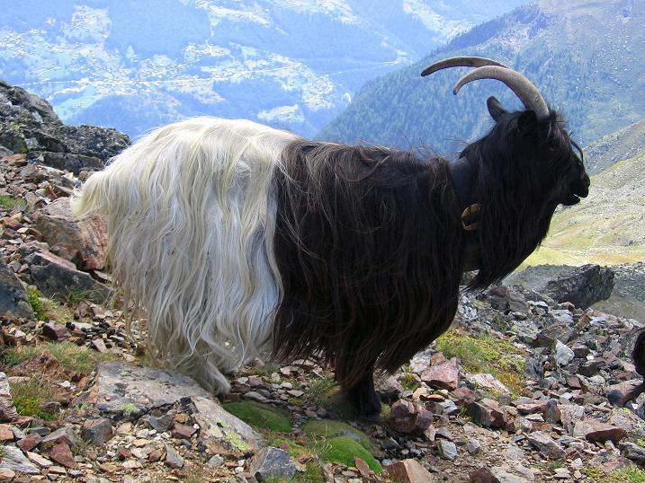 Foto: Andreas Koller / Wander Tour / Über den Augstbordgrat auf das Dreizehntenhorn (3052 m) / Gesellschaft am Augstbordhorn / 07.09.2009 21:33:53
