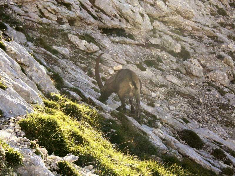 Foto: Datzi / Wander Tour / 4-Tages Biwakrundtour in den Julischen Alpen mit 3.Gipfelanstiegen (Triglav-Razor-Skrlatica) mit Klettersteig C-D / Ein Steinbock beim Abstieg vom Razor / 05.09.2009 09:31:57