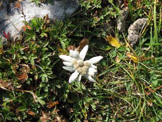 Foto: AbsolutAlpin.at / Wander Tour / Schneeberg - Rax - Überschreitung in 2 Tagen / Schon sehr selten: Edelweiss in der Nähe der Neuen Seehütte / 29.09.2009 11:50:25