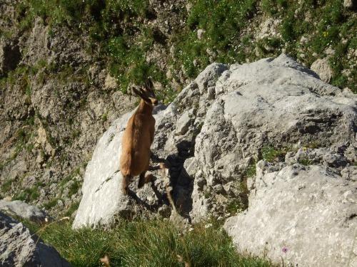 """Foto: hofchri / Klettersteigtour / Ellmauer Halt (2.344 m) über """"Gamsängersteig"""" / Hurra die Gams -Guten Morgen! / 12.08.2010 20:29:15"""