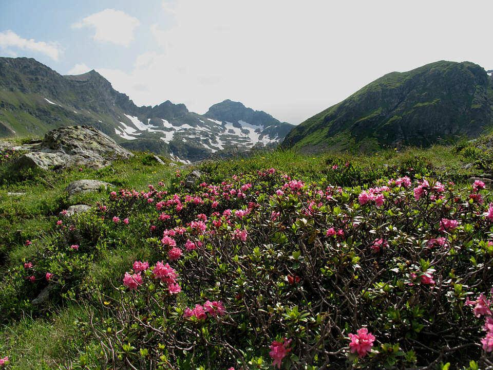 Foto: Gerhard Eidenberger / Wandertour / Auf den Scharnock / Alpenrosenblüte unweit der Landawirseehütte. / 17.07.2013 17:45:19