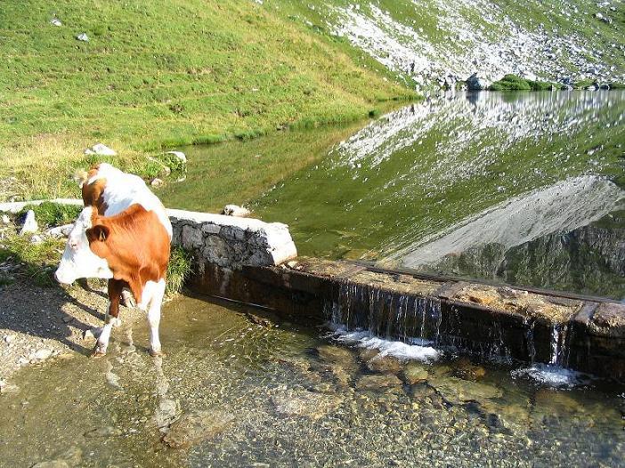 Foto: Andreas Koller / Wander Tour / Von der Franz-Fischer-Hütte auf den Stierkarkopf und die Wildkarhöhe (2514 m) / Kuh zur Beinkühlung am Zaunersee / 17.08.2007 10:27:58