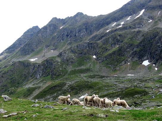 Foto: Andreas Koller / Wander Tour / Drei-Hütten-Tour in den Schladminger Tauern (2453 m) / Schafe im Vetternkar / 11.06.2007 21:38:04