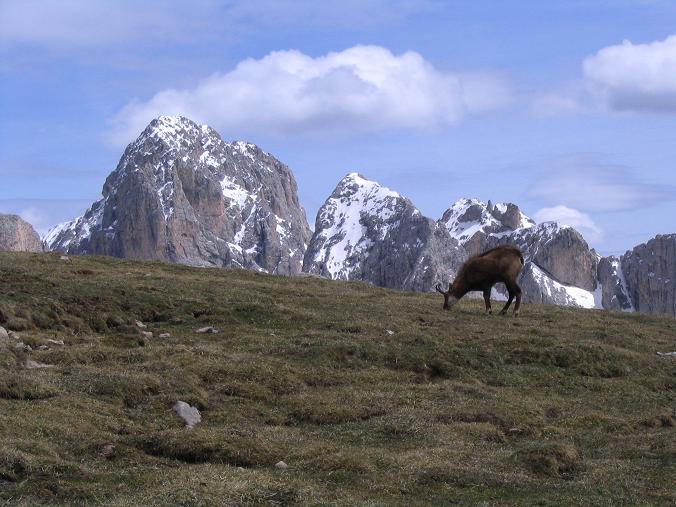 Foto: Andreas Koller / Wander Tour / Schlern und Grödner Höhenweg (2656 m) / Gemse mit Rosengarten im Hintergrund / 22.04.2007 21:48:54
