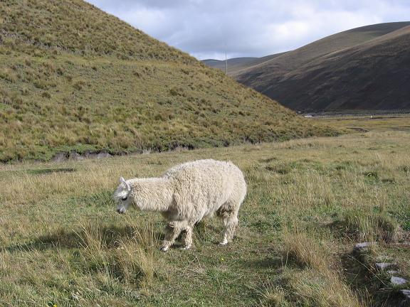 Foto: Andreas Koller / Wander Tour / Wandertour in große Höhen im Chimborazo-Massiv (4463 m) / Lama im Chomborazo Basecamp von Marco Cruz / 11.05.2007 01:00:33