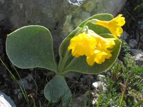 Foto: Christian Suschegg / Wandertour / Überschreitung von Gwöhnlistein und Hechlstein / Üppige Blumenpracht zur Frühjahrszeit. / 21.01.2007 11:41:54