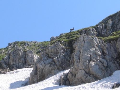 Foto: Christian Suschegg / Wander Tour / Krautschwellereck (1959m) / Eine Gams wundert sich über den seltenen Besuch. / 22.01.2007 11:51:08