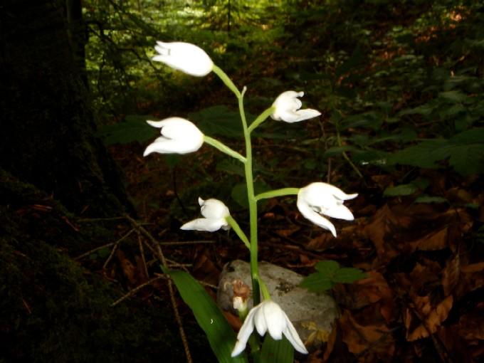 Foto: Manfred Karl / Wander Tour / Kienbergl (1135m) / Für botanische Interessierte ist das Kienbergl ein Fundort schöner Waldpflanzen: Hier das Weiße Waldvögelein, eine Orchideenart. / 15.02.2007 19:43:36