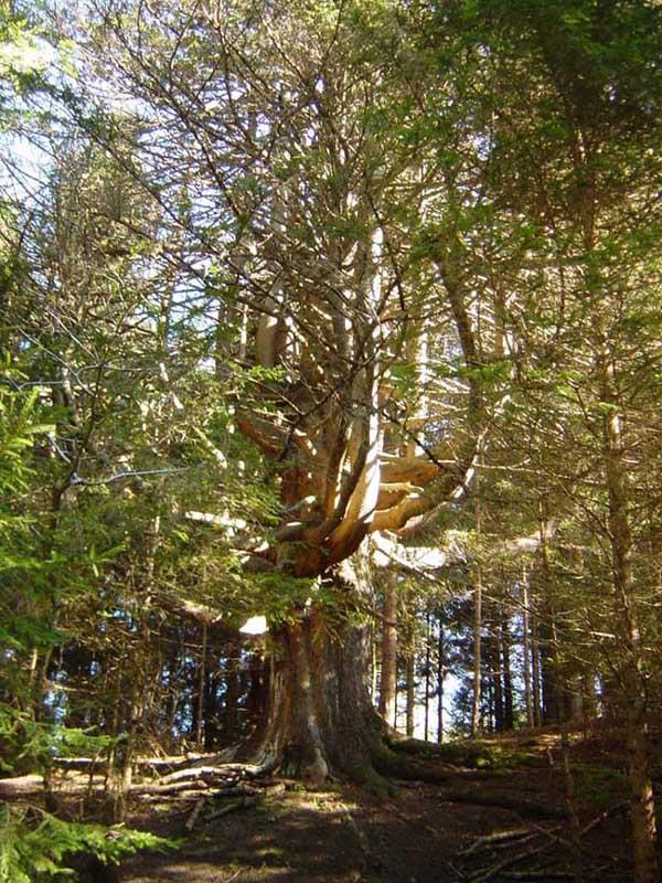 Foto: Corinna Mößlacher / Mountainbiketour / Wunderbaumrunde / Der Wunderbaum  ist ca. 180 Jahre alt. (Rotfichte) / 03.05.2007 15:26:18
