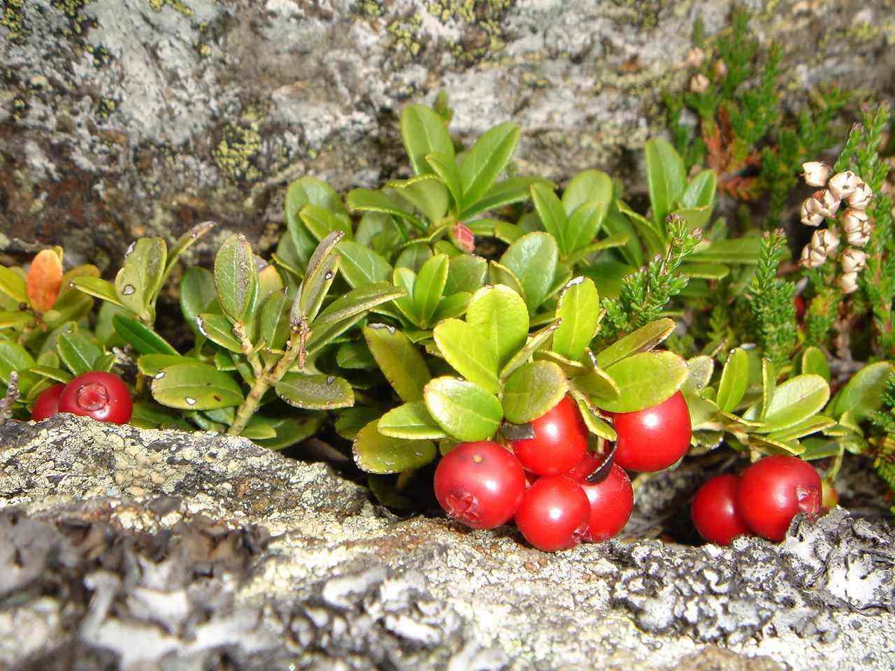 Foto: Manfred Karl / Wander Tour / Peterer Riegel, 1967 m / Bremswirkung: Wer ein Auge dafür hat, sollte Zeit einplanen, nicht nur die roten Beeren, auch unzählige blaue