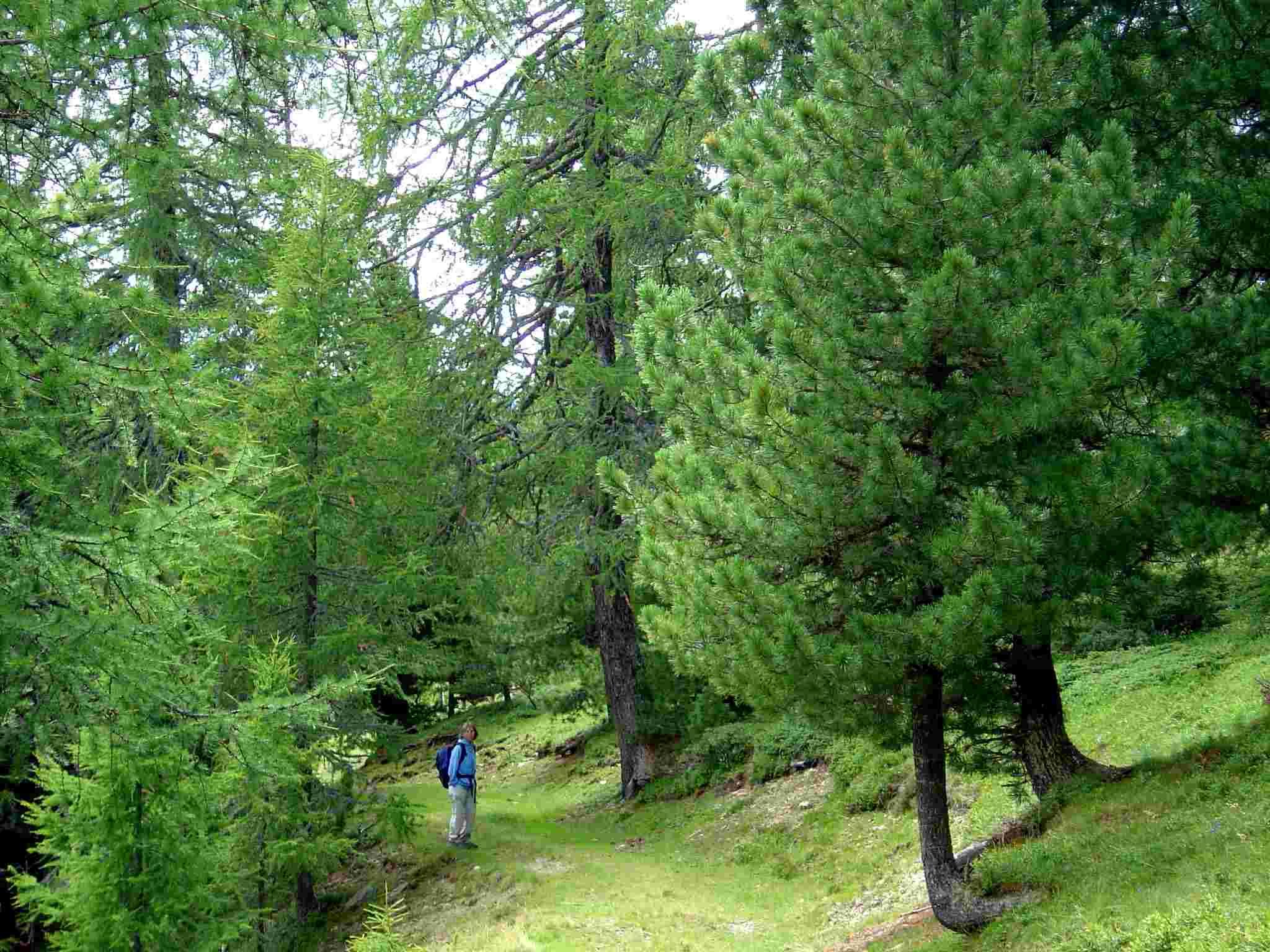 Foto: Manfred Karl / Wander Tour / Von St. Lorenzen auf den Speikkofel / Der Lärchen- und Zirbenbestand ist ene Augenweide. / 03.05.2007 06:28:30