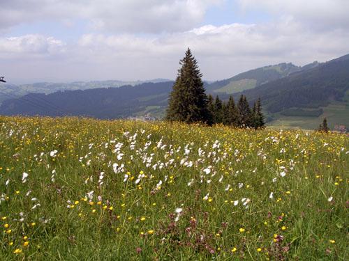Foto: vince 51 / Wander Tour / Auf den Sorgschrofen (1638m) / Blumenwiese mit Wollgras / 03.06.2007 21:27:59