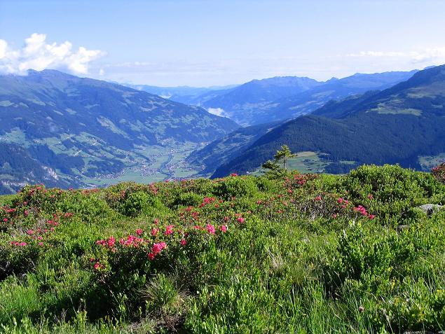 Foto: Andreas Koller / Wander Tour / Ahornspitze und Popbergschneid (2976m) / Über Almrausch Blick in das Zillertal / 18.06.2007 17:59:04