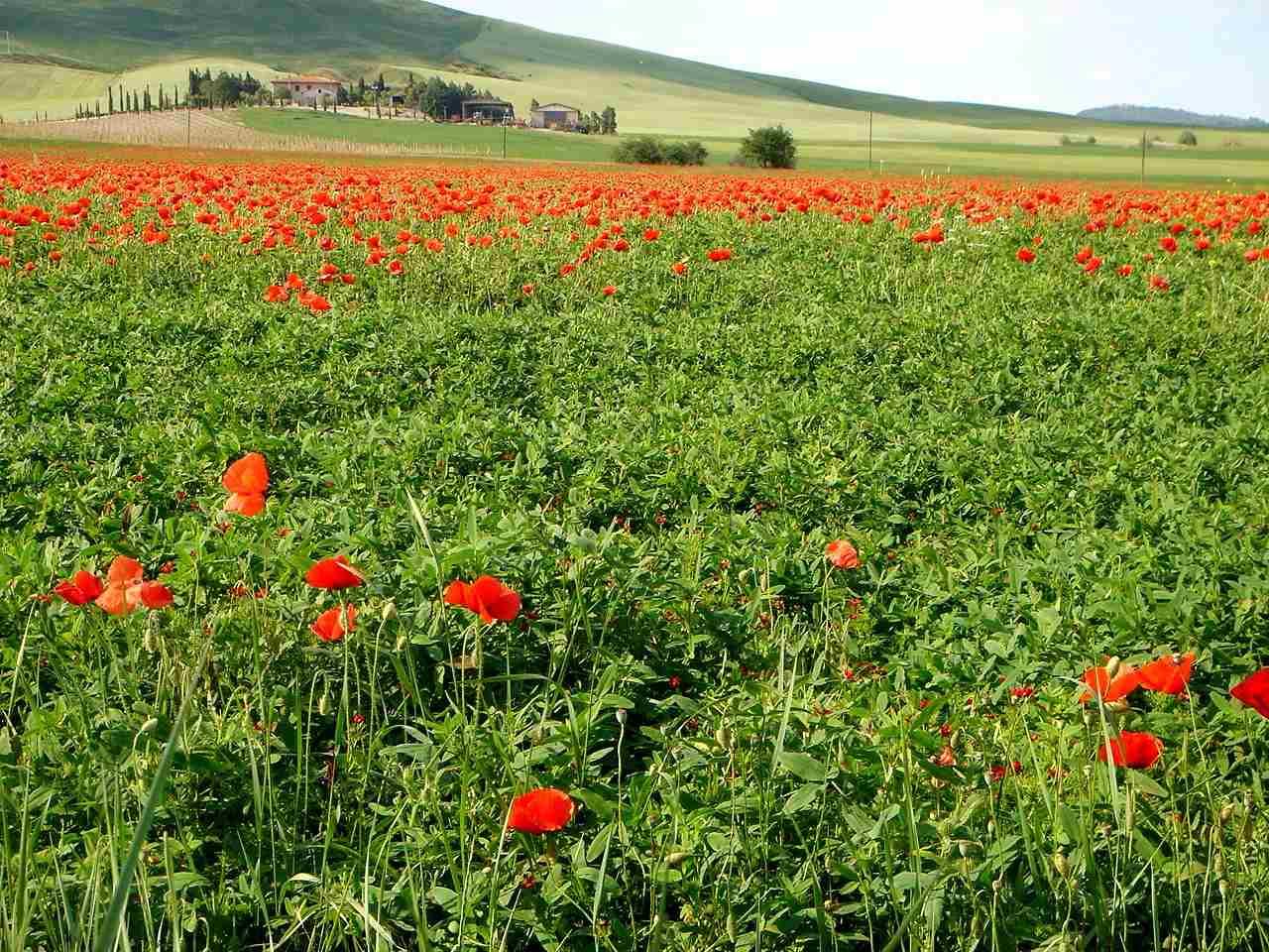 Foto: Manfred Karl / Mountainbike Tour / Von Bagno Vignoni nach Pienza / Mohnfelder soweit das Auge reicht. / 20.06.2007 17:43:50