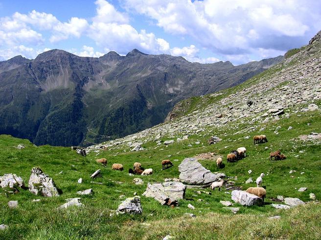 Foto: Andreas Koller / Wander Tour / Durch das Arntal auf die Weiße Spitze (2963 m) / Schafe in den Deferegger Alpen / 10.07.2007 17:53:24